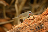 male Siberian Rubythroat (Luscinia calliope)