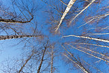 Looking up to white birch trees in spring