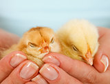 Sleepy young chickens in woman hands
