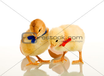 Spring chicken isolated with reflection
