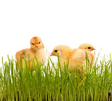 Spring chicken in fresh grass - isolated
