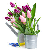 pink   and violet tulips with gardening tools