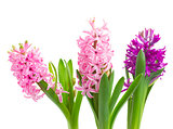 Hyacinths flowers close up