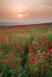 Poppy field landscape in Summer countryside sunrise