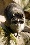 Raccoon on a Rock