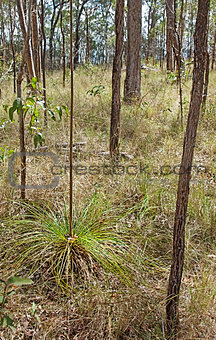Australian dry eucalypt sclerophyll forest with Xanthorrhoea gra