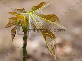 Australian bushtucker juvenile Candlenut Tree Aleurites moluccan
