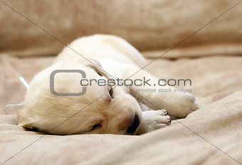 sweet yellow labrador puppy