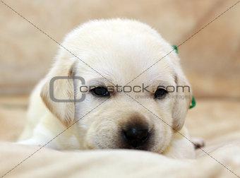 sweet yellow labrador puppy portrait