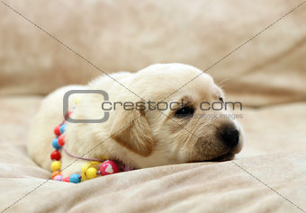 sweet yellow labrador puppy portrait in colour beads