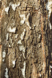 Bark detail of old birch tree