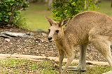 Kangaroo in the Garden