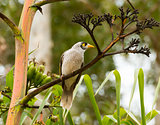 noisy miner in a tree
