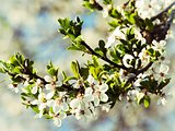 Tree Spring Blossom