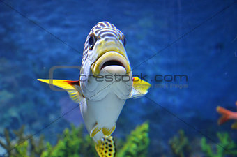 Close up photography of sea fish swims in the deep blue see