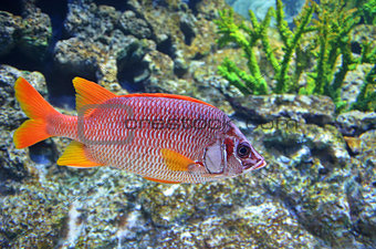 Red snapper fish swims in the deep sea