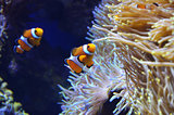 Clown fish in the reef