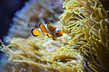 Cute orange white clown fish in the reef