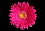 Flower gerbera.