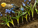 planting siberian squill