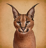 Caracal, 6 months old, in front of brown background