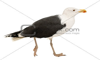 Great Black-backed Gull, Larus marinus, 4 years old, walking against white background