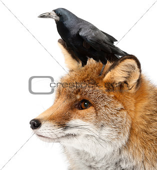 Old Red fox, Vulpes vulpes, 15 years old, and Rook, Corvus frugilegus, 3 years old, against white background