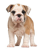 English Bulldog puppy, standing, 2 months old