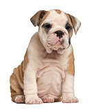 English Bulldog puppy Sitting, 2 months old