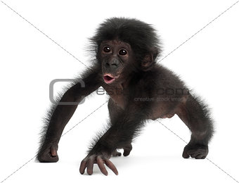 Baby bonobo, Pan paniscus, 4 months old, walking against white b