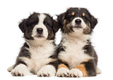 Two Australian Shepherd puppies, 2 months old, lying against white background