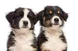 Close-up of Two Australian Shepherd puppies, 2 months old, looking away against white background