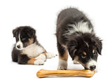 Two Australian Shepherd puppies, 2 months old,  one is eating knuckle bone as other looks away against white background