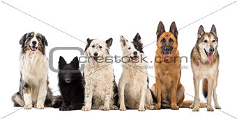 Australian Shepherd, Belgian Shepherd-Groenendael, Border Collie and German Shepherd dogs against white background