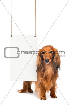 Dachshund, 4 years old, standing next to a white board hanging on strings against white background