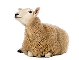 Sheep lying and looking up against white background