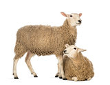 Sheep lying in front of another standing against white background