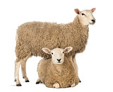 Sheep standing over another lying against white background