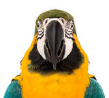 Front view close-up of a Blue-and-yellow Macaw, Ara ararauna, 30 years old, in front of white background