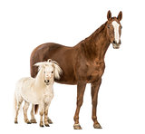 Horse and Shetland standing next to each other in front of white background
