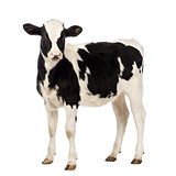 Veal, 8 months old, looking at the camera in front of white background