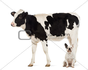 French bulldogs sitting under a Veal, 8 months old, in front of white background