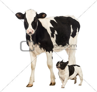 French bulldog running next to a Veal, 8 months old, walking in front of white background