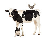 Veal, 8 months old, standing with a Polish chicken standing on its back and a French bulldog sitting under him in front of white background