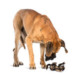Great Dane looking at a kitten lying on its back and attacking,