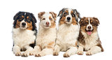 Group of Australian Shepherd lying and looking, isolated on whit