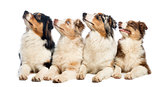Group of Australian Shepherd lying and looking up, isolated on w