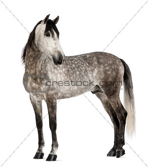 Andalusian, 7 years old, looking back, also known as the Pure Spanish Horse or PRE against white background