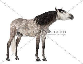 Andalusian, 7 years old, stretching its neck, also known as the Pure Spanish Horse or PRE against white background
