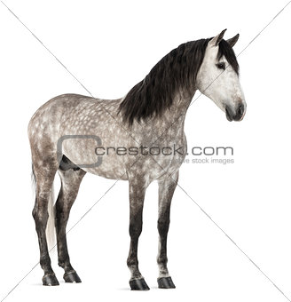 Andalusian, 7 years old, also known as the Pure Spanish Horse or PRE against white background